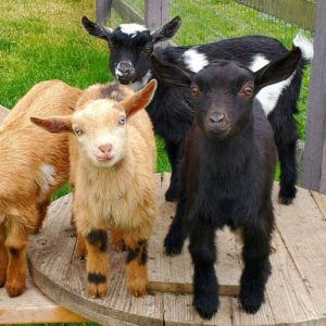 Baby goats at Left Foot Farm