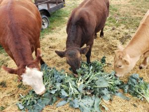 Mason Jar Farm cows eating greens