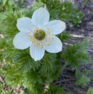 Western Anemone Flower Stage