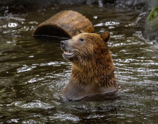 Grizzly Bear plays in the water at Northwest Trek Wildlife Park