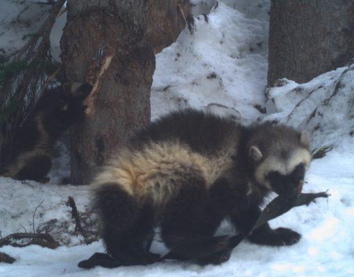 Wolverines at Mount Rainier National Park