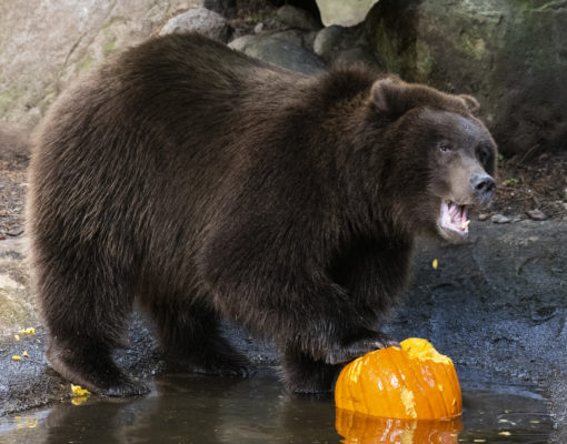 grizzly bear with pumpkin